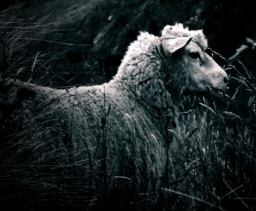 Ein Schaf namens Charles.