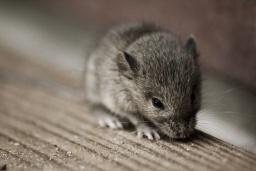 Von Mäusen und Menschen.