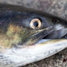 Der Fisch.