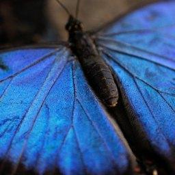 Der große blaue Morpho.